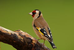 A goldfinch bird. Royalty Free Stock Photo