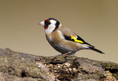 Goldfinch bird. European Goldfinch (Carduelis carduelis) sitting on a wood Stock Photography