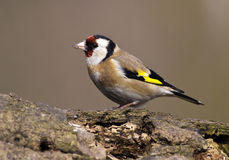 Goldfinch bird Royalty Free Stock Images