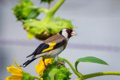 Goldfinch bird or Carduelis carduelis perched on a Sunflower stock image