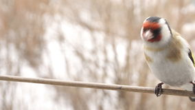 Goldfinch bird. Perched on a stick stock video