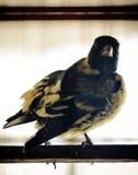 Goldfinch bird sideways drying in the sun stock photos
