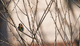 Goldfinch bird Stock Photos