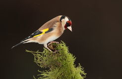 Goldfinch   bird. Stock Photo