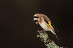 Goldfinch   bird. Royalty Free Stock Photography