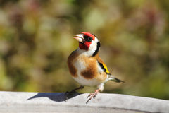 Goldfinch on birdbath Royalty Free Stock Images