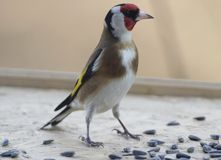 Goldfinch on a birdfeeder Royalty Free Stock Image