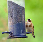Goldfinch on Birdfeeder Royalty Free Stock Image