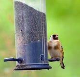 Goldfinch on Birdfeeder. A beautiful goldfinch bird perched on a birdfeeder in the woodland Royalty Free Stock Image