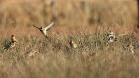 Goldfinch birds in field Royalty Free Stock Image