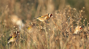 Goldfinch birds in field Stock Images