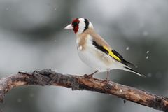Goldfinch on a branch. Goldfinch (Carduelis carduelis) on a branch in snowing Royalty Free Stock Photos