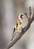 Goldfinch on the branch Stock Photo