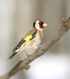 Goldfinch at the branch Royalty Free Stock Images