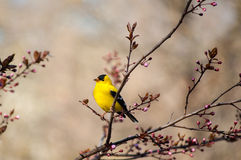 Goldfinch on Branch Stock Photo