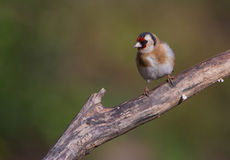 Goldfinch on branch Royalty Free Stock Image