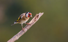 Goldfinch on branch Royalty Free Stock Photos