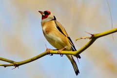 Goldfinch on a Branch Stock Photography