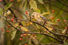 Goldfinch on branch Royalty Free Stock Photography