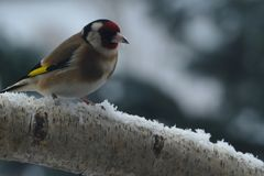 Goldfinch on branch in snow. Goldfinch redcap on branch in snow Royalty Free Stock Image
