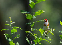 Goldfinch on branch on the tree Stock Photography