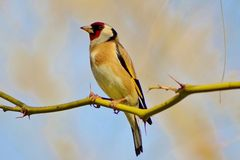 Goldfinch on a Branch Stock Images