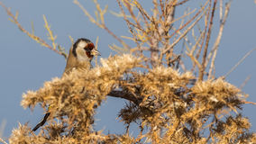 Goldfinch on Bush royalty free stock image