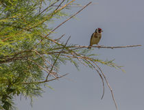 Goldfinch on a bush Royalty Free Stock Images