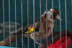 Goldfinch in a cage stock image