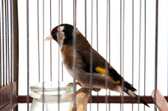 Goldfinch in a cage stock photography