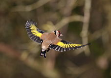 Goldfinch. At Calke Abbey,Derbyshire royalty free stock photo