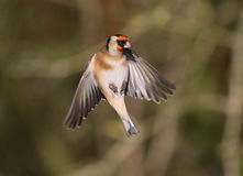 Goldfinch. At Calke Abbey,Derbyshire stock image