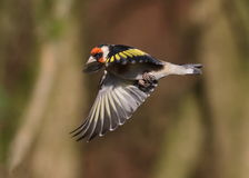 Goldfinch. At Calke Abbey,Derbyshire stock images