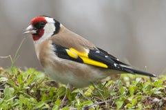 Goldfinch - carduelis, πορτρέτο που ψάχνουν τα τρόφιμα, φτέρωμα και χρώματα Carduelis στοκ φωτογραφίες