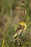 goldfinch carduelis меньшее psaltria Стоковые Фотографии RF