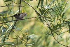 Goldfinch Carduelis Carduelis Στοκ φωτογραφίες με δικαίωμα ελεύθερης χρήσης