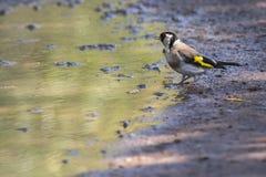 Goldfinch Carduelis Carduelis Στοκ Φωτογραφία