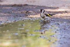 Goldfinch Carduelis Carduelis Στοκ Φωτογραφίες