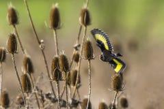 Goldfinch Carduelis Carduelis Στοκ Εικόνες