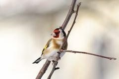 goldfinch carduelis стоковое фото