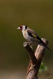 goldfinch carduelis стоковые изображения