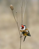 Goldfinch ( Carduelis ) Royalty Free Stock Photography