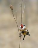 Goldfinch (Carduelis) Fotografía de archivo libre de regalías
