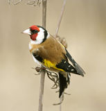 Goldfinch ( Carduelis ) Royalty Free Stock Photos