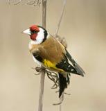 Goldfinch (Carduelis) Fotos de archivo libres de regalías