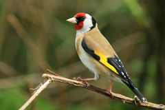 Goldfinch (Carduelis carduelis). A goldfinch sitting on the branch of a bush stock image
