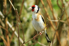 Goldfinch (Carduelis carduelis). A goldfinch sitting on the branch of a bush royalty free stock photo