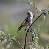 Goldfinch, Carduelis carduelis Stock Image
