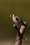 Goldfinch (Carduelis carduelis). Goldfinch (cadruelis carduelis) male perched on a branch Stock Images