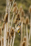 Goldfinch (Carduelis-carduelis) Royalty Free Stock Image